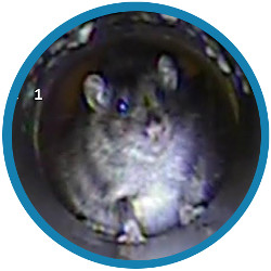 A drain survey can help you with rats in your property