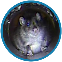 A drain survey can help you with rats in your Fulham property